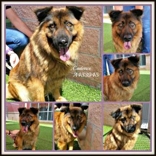 Mix-Bred GERMAN SHEPHERD DOG Female  Adult  Dog #A433945#  Animal Care Services (San Antonio) - click here to view larger pic