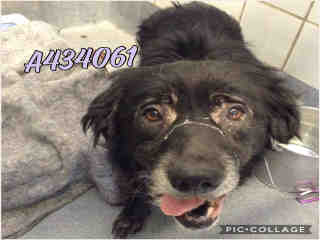 Mix-Bred FLAT-COATED RETRIEVER Female  Adult  Dog #A434061#  Animal Care Services (San Antonio) - click here to view larger pic