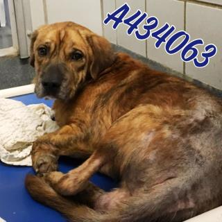 Mix-Bred LABRADOR RETRIEVER Male  Young  Puppy #A434063#  Animal Care Services (San Antonio) - click here to view larger pic