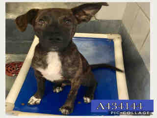 CATAHOULA LEOPARD HOUND Male  Young  Puppy #A434144#  Animal Care Services (San Antonio) - click here to view larger pic