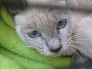 SIAMESE Female  Young  Kitten #A434189#  Animal Care Services (San Antonio) - click here to view larger pic