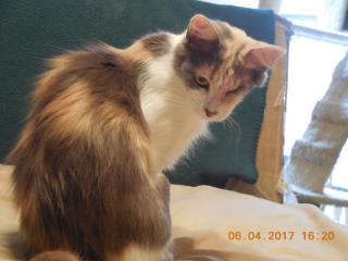 Mix-Bred DOMESTIC MEDIUMHAIR Female  Adult  Cat #A434193#  Animal Care Services (San Antonio) - click here to view larger pic