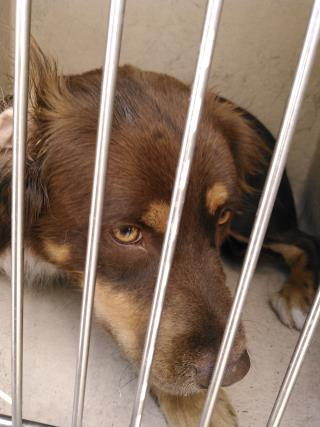 Mix-Bred LABRADOR RETRIEVER Female  Adult  Dog #A434233#  Animal Care Services (San Antonio) - click here to view larger pic
