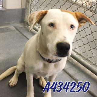 Mix-Bred LABRADOR RETRIEVER Male  Young  Puppy #A434250#  Animal Care Services (San Antonio) - click here to view larger pic