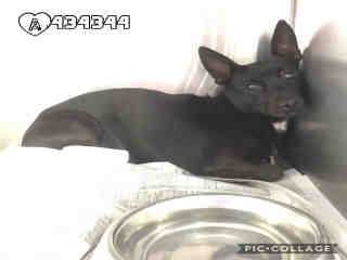 Mix-Bred CHIHUAHUA - SMOOTH COATED Male  Young  Puppy #A434344#  Animal Care Services (San Antonio) - click here to view larger pic