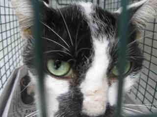 Mix-Bred DOMESTIC SHORTHAIR Male  Adult  Cat #A434365#  Animal Care Services (San Antonio) - click here to view larger pic