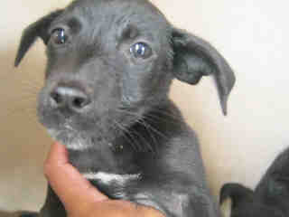 Mix-Bred LABRADOR RETRIEVER Male  Young  Puppy #A434408#  Animal Care Services (San Antonio) - click here to view larger pic