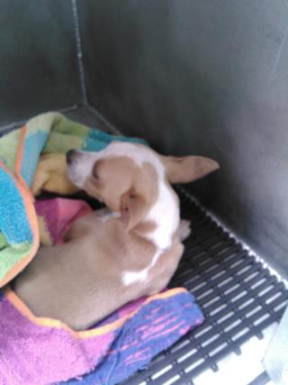 Mix-Bred CHIHUAHUA - SMOOTH COATED Male  Young  Puppy #A434481#  Animal Care Services (San Antonio) - click here to view larger pic