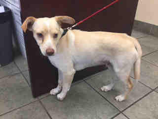 LABRADOR RETRIEVER Male  Young  Puppy #A434488#  Animal Care Services (San Antonio) - click here to view larger pic