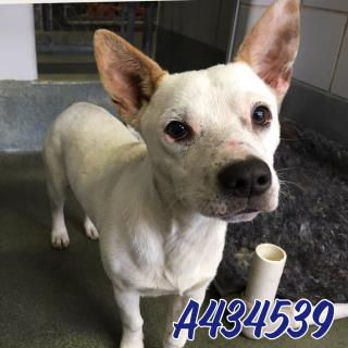 Mix-Bred TERRIER Male  Young  Puppy #A434539#  Animal Care Services (San Antonio) - click here to view larger pic