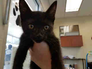 Mix-Bred DOMESTIC SHORTHAIR Male  Young  Kitten #A434553#  Animal Care Services (San Antonio) - click here to view larger pic