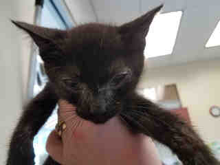 Mix-Bred DOMESTIC SHORTHAIR Male  Young  Kitten #A434562#  Animal Care Services (San Antonio) - click here to view larger pic