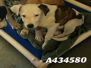 Mix-Bred LABRADOR RETRIEVER Female  Young  Puppy #A434580#  Animal Care Services (San Antonio) - click here to view larger pic