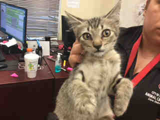 Mix-Bred DOMESTIC SHORTHAIR Female  Young  Kitten #A434633#  Animal Care Services (San Antonio) - click here to view larger pic