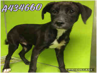 Mix-Bred LABRADOR RETRIEVER Male  Young  Puppy #A434660#  Animal Care Services (San Antonio) - click here to view larger pic