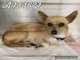 CHIHUAHUA - SMOOTH COATED Male  Adult  Dog #A434674#  Animal Care Services (San Antonio) - click here to view larger pic