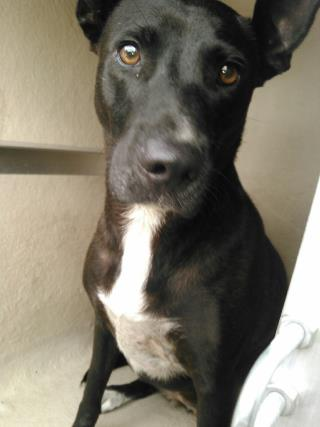 Mix-Bred SHEPHERD Female  Adult  Dog #A434719#  Animal Care Services (San Antonio) - click here to view larger pic