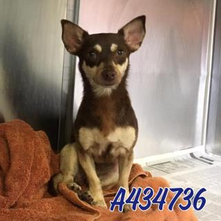Mix-Bred CHIHUAHUA - SMOOTH COATED Female  Young  Puppy #A434736#  Animal Care Services (San Antonio) - click here to view larger pic