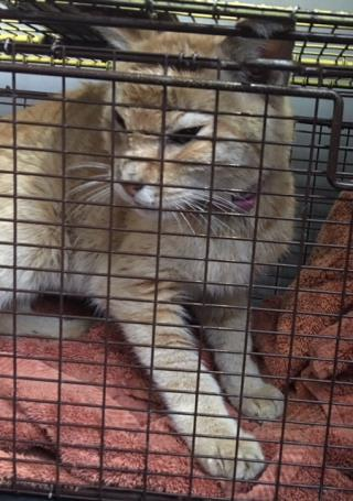 Mix-Bred DOMESTIC SHORTHAIR Male  Older  Cat #A434773#  Animal Care Services (San Antonio) - click here to view larger pic