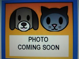 Mix-Bred DOMESTIC SHORTHAIR Male  Young  Kitten #A434776#  Animal Care Services (San Antonio) - click here to view larger pic