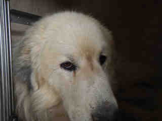 GREAT PYRENEES Male  Adult  Dog #A434836#  Animal Care Services (San Antonio) - click here to view larger pic