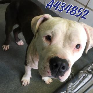 Mix-Bred PIT BULL TERRIER Male  Young  Puppy #A434852#  Animal Care Services (San Antonio) - click here to view larger pic