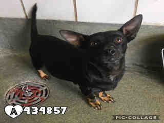 Mix-Bred DACHSHUND Female  Adult  Dog #A434857#  Animal Care Services (San Antonio) - click here to view larger pic