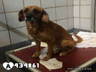 Mix-Bred BRITTANY Male  Young  Puppy #A434861#  Animal Care Services (San Antonio) - click here to view larger pic