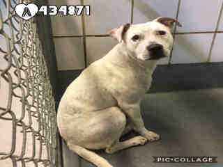 Mix-Bred LABRADOR RETRIEVER Female  Adult  Dog #A434871#  Animal Care Services (San Antonio) - click here to view larger pic