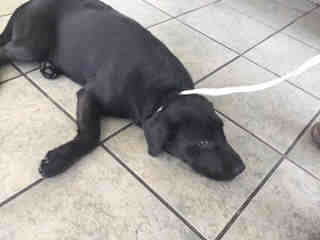 Mix-Bred LABRADOR RETRIEVER Female  Young  Puppy #A434910#  Animal Care Services (San Antonio) - click here to view larger pic