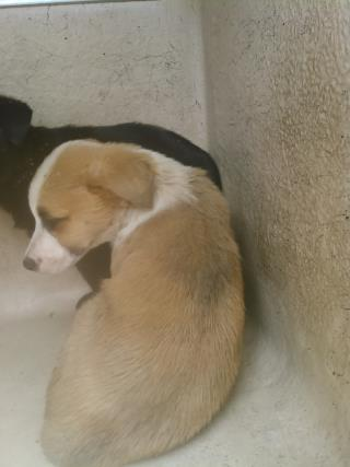 Mix-Bred LABRADOR RETRIEVER Female  Young  Puppy #A434931#  Animal Care Services (San Antonio) - click here to view larger pic