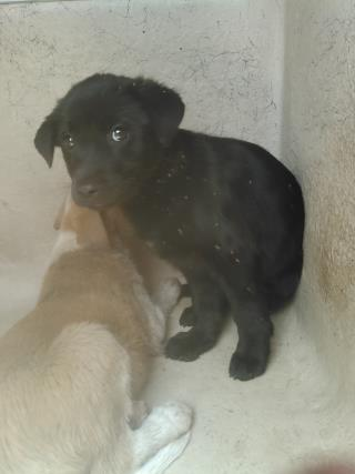 Mix-Bred LABRADOR RETRIEVER Male  Young  Puppy #A434932#  Animal Care Services (San Antonio) - click here to view larger pic