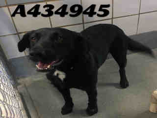 Mix-Bred LABRADOR RETRIEVER Female  Young  Puppy #A434945#  Animal Care Services (San Antonio) - click here to view larger pic