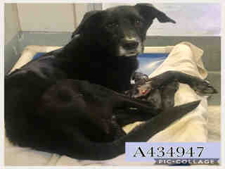 Mix-Bred LABRADOR RETRIEVER Male  Adult  Dog #A434947#  Animal Care Services (San Antonio) - click here to view larger pic