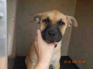 Mix-Bred SHEPHERD Female  Young  Puppy #A434953#  Animal Care Services (San Antonio) - click here to view larger pic