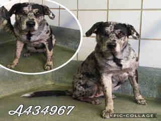 Mix-Bred CATAHOULA LEOPARD HOUND Female  Young  Puppy #A434967#  Animal Care Services (San Antonio) - click here to view larger pic