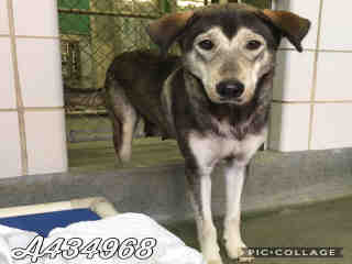 Mix-Bred SHEPHERD Female  Adult  Dog #A434968#  Animal Care Services (San Antonio) - click here to view larger pic