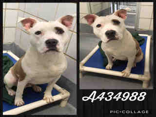 Mix-Bred AMERICAN STAFFORDSHIRE TERRIER Male  Adult  Dog #A434988#  Animal Care Services (San Antonio) - click here to view larger pic