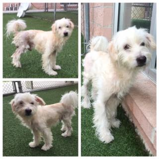 Mix-Bred TERRIER Male  Adult  Dog #A435000#  Animal Care Services (San Antonio) - click here to view larger pic