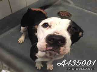 Mix-Bred AMERICAN STAFFORDSHIRE TERRIER Female  Adult  Dog #A435001#  Animal Care Services (San Antonio) - click here to view larger pic