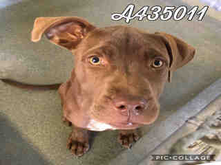 Mix-Bred LABRADOR RETRIEVER Female  Young  Puppy #A435011#  Animal Care Services (San Antonio) - click here to view larger pic