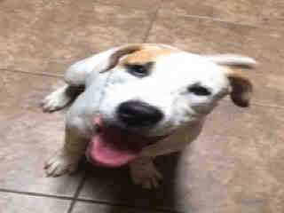 Mix-Bred POINTER Male  Young  Puppy #A435018#  Animal Care Services (San Antonio) - click here to view larger pic