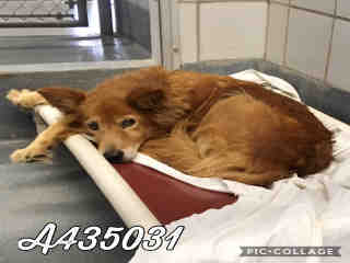 Mix-Bred CHOW CHOW Female  Adult  Dog #A435031#  Animal Care Services (San Antonio) - click here to view larger pic