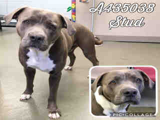 AMERICAN STAFFORDSHIRE TERRIER Male  Young  Puppy #A435038#  Animal Care Services (San Antonio) - click here to view larger pic