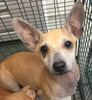 Mix-Bred CHIHUAHUA - SMOOTH COATED Male  Young  Puppy #A435049#  Animal Care Services (San Antonio) - click here to view larger pic