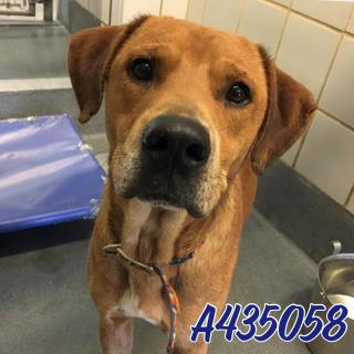Mix-Bred LABRADOR RETRIEVER Male  Adult  Dog #A435058#  Animal Care Services (San Antonio) - click here to view larger pic