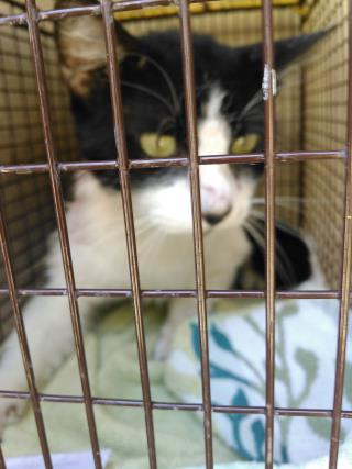 Mix-Bred DOMESTIC SHORTHAIR Male  Adult  Cat #A435061#  Animal Care Services (San Antonio) - click here to view larger pic