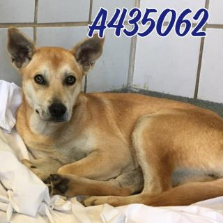 Mix-Bred GERMAN SHEPHERD DOG Female  Young  Puppy #A435062#  Animal Care Services (San Antonio) - click here to view larger pic