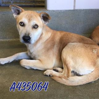 Mix-Bred GERMAN SHEPHERD DOG Female  Young  Puppy #A435064#  Animal Care Services (San Antonio) - click here to view larger pic