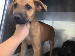 Mix-Bred BLACK MOUTH CUR Male  Young  Puppy #A435067#  Animal Care Services (San Antonio) - click here to view larger pic